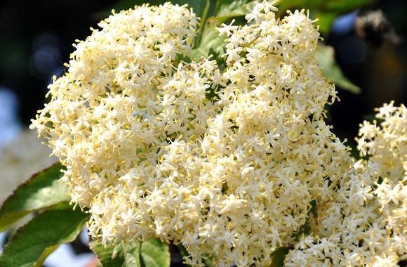 elder herb