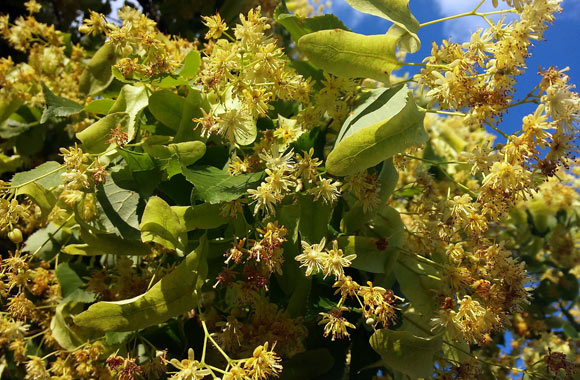 linden flowers herb