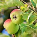 pomes fruits